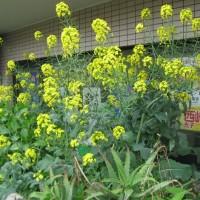 こちらは事務所の花壇の菜の花