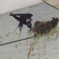 壁にとまって巣作りの最中